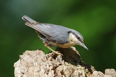IMGP2289 Nuthatch, Lackford Lakes, May 2016 (bobchappell55) Tags: wild bird nature woodland suffolk wildlife lakes reserve trust nuthatch damp lackford