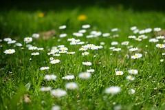 Daisies ([m]apugrafie) Tags: germany munich mnchen bayern deutschland bavaria fujifilmxe2 xf35mmf2rwr
