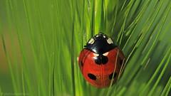 Ladybug in green (photo.durantis.eu Bernd Ackermann) Tags: macro makro cvennes cevennen durantis photodurantiseu