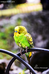 © Ottavia Serafini 2016 (Ottavia Serafini) Tags: italy verde green bird nature animal animals yellow nikon italia parrot giallo tiny pappagallo animale umbria uccello volatili nikond5100