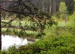 Jour de pluie (MAPNANCY) Tags: eau pluie arbre verdure branche tourbire