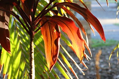 just a Cordyline (Gillian Everett) Tags: morning light 50mm explore queensland cordyline explored sooc