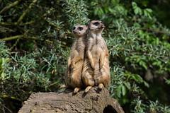Zoom_Erlebniswelt_GE_2016-149.jpg (Wotan1081) Tags: zoo gelsenkirchen erdmnnchen zoomerlebniswelt