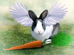 Rabbit Heaven (hollkat46) Tags: rabbit photomanipulation photoshop wings hare carrot