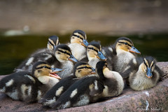 Stockente / Mallard (Doris & Michael S.) Tags: sonyilcaalpha77ii tamronsp150600mm vogel tiere stockente animals mallard sonyilca77m2 bird oiseau