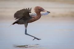 Air Brakes (gseloff) Tags: bird beach surf wildlife bif reddishegret galvestoncounty houstonaudubonsociety gseloff bolivarflatsshorebirdsanctuary