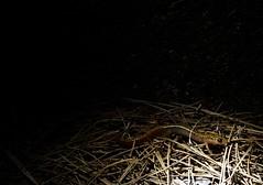 Salamander (wrj95) Tags: black yellow pine night salamander spotted needles humid