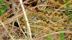Adders - Venom Sisters (Nick Dobbs) Tags: texture sisters snake den camouflage heath dorset viper bournemouth adder venomous heathland basking venom vipera berus