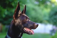 Watson yard portrait (NVenot) Tags: light portrait dog cute dogs field 50mm fuji natural bokeh outdoor f14 teeth canine fujifilm depth xt1 fotodiox