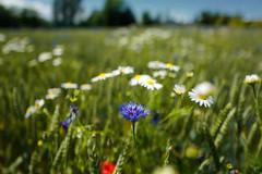 Blau Weiss Rot (nafoto!) Tags: margeriten kornblumen mohnblumen leicaq