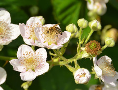Busy (alderney boy) Tags: insect blackberry wing petal bee stamen bloom thorn briar bramble totnes anthers