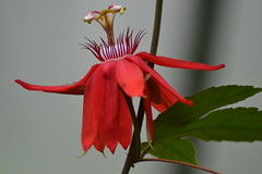 Exotic red (hcorper) Tags: flower indoor red detail bokeh closeup 100flowers
