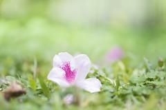 Color of Spring (JaS Photoland) Tags: flower sony olympus om a7 secretgarden a7s sonya7 olympus90mmf2 sonya7s olympus90mmf2macro om90f2