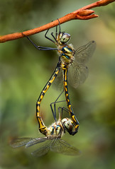 Amorous Dragonflies (aussiegall) Tags: love garden insect dragonfly bugs twig mating amorous odonata