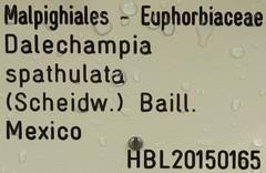 Dalechampia spathulata 0 (heinvanwinkel) Tags: leiden nederland hortus botanicus apr euphorbiaceae 2015 magnoliidae euphorbiales spathulata spermatophyta acalyphoideae dalechampia euphyllophyta rosanae bloemvandedag plukenetiinae dalechampieae