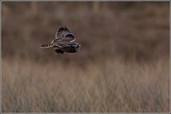 Short Eared Owl hunting. (Smudge 9000) Tags: uk winter england unitedkingdom wildlife owl scrape bids 2015 sandwichbay shorteared restharrow