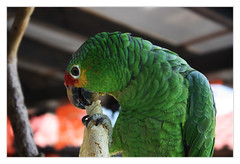 Ocosingo MEX - Lunchtime also for a Red-lored Amazon 02