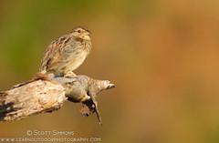 Bachman's Sparrow (sjsimmons68) Tags: bird animals favorites fav sparrows bachmanssparrow halscottpreserve orangeco fllocations