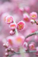 春告草 (mako_peko) Tags: macro canon spring bokeh 100mm ume 梅 plumblossoms 春 ピンク eos70d
