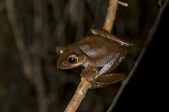 Madagascar bright-eyed frog (elebe.foto) Tags: frog frosch madagascar nightwalk ranomafana amphibia amphibien madagaskar boophismadagascariensis madagascarbrighteyedfrog