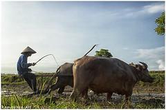 Metekap - Balinese traditional agricultural tradition (kamesvara) Tags: bali agriculture jembrana traditionalfarming subak metekap yehsumbul