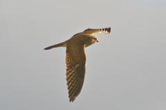 Turmfalke (Weibchen)  (Falco tinnunculus) (Nature_77) Tags: animal aves tele kestrel tier vogel falken falco falcotinnunculus falconiformes falconidae rttelfalke falconinae rttelflug falkenartige nikond5200 mauerfalke kirchfalke domfalke