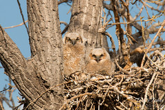 The many faces of Great Horned Owl owlets