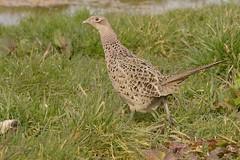 DSC_3653 fazant hen (Phasianus colchicus)