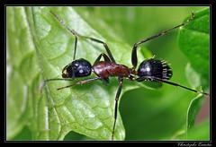 Camponotus herculeanus (cquintin) Tags: ant arthropoda hymenoptera fourmi formicidae camponotus macroinsectes herculeanus