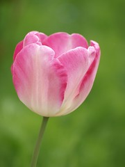De saison **-*- °° (Titole) Tags: pink green tulip tulipe twothumbsup friendlychallenges thechallengefactory herowinner titole nicolefaton