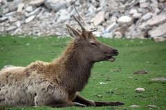 European Reindeer (Rangifer tarandus) (BladDad) Tags: reindeer africanlionsafari rangifertarandus europeanreindeer