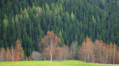 en lisire de fort (yoduc73) Tags: montagne alpes arbres printemps fort tarentaise