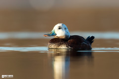 Leucistic Ruddy Duck (Corey Hayes) Tags: wild art nature evening duck spring calm albino waterfowl hybrid coreyhayes