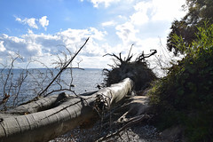 """Rootlessness I... (farsighted.as """"WHAT I LIKE TO SEE"""") Tags: ocean wood sea tree strand island coast meer mare balticsea baltic insel root ufer rgen ostsee whitecliff balticcoast"""