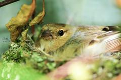 Chaffinch Mum (Ruth S Hart) Tags: uk bird nature chick essex nesting chaffinch nikond300 nikon1050mmf28 ruthshart