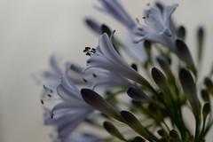 agapanthus 2. (Shokosseite) Tags: flowers flower purple indoor depthoffield agapanthus lightpurple