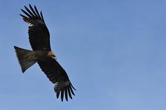 Black Kite (owen4green) Tags: blue sky brown white green bird fly flying blackkite soaring soar nikond5