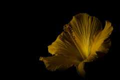Hibiskus shining out of the darkness (ingoal18) Tags: light flower art nature fleur beautiful yellow dark key darkness low natur gelb hibiscus bloom blume lowkey shining garten depth hibiskus lightroom stengel blhen