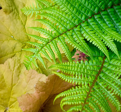 162/366  Spring Green - 366 Project 2 - 2016 (dorsetpeach) Tags: fern green yellow spring 365 2016 366 vibrabt aphotoadayforayear 366project second365project heuchra