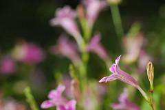 asistasia (creeping foxglove) (DOLCEVITALUX) Tags: flowers flower fauna flora philippines foxglove creepingfoxglovechinesevioletcreeping