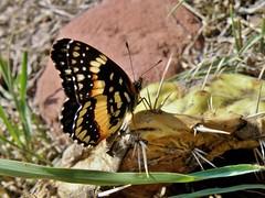 Chlosyne lacinia (carlos mancilla) Tags: insectos butterflies mariposas chlosynelacinia olympussp570uz