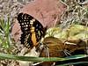 Chlosyne lacinia (Geyer, 1837) (carlos mancilla) Tags: chlosynelacinia insectos mariposas butterflies olympussp570uz mariposaparchenaranja chlosynelaciniageyer1837 borderedpatch nymphalidae nymphalinae