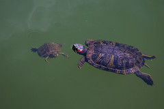 Swimming Lessons? (Joyce and Steve) Tags: old green animal swimming pond child turtle centralpark young parent learning teaching relationships turtlepond