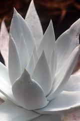 Dudleya brittonii (1) (jeffs bulbesetpots) Tags: dudleya brittonii