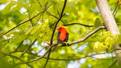 7K8A8681 (rpealit) Tags: bird nature water scarlet scenery wildlife gap national area recreation delaware tanager