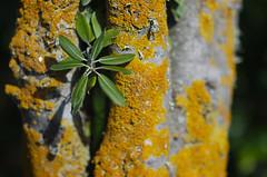 Lichen tree (Kiwi Jono) Tags: tree pentax lichen samyang85f14 pentaxk5
