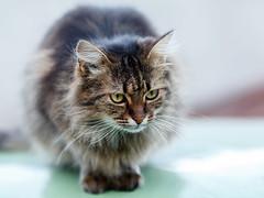 Street cat 129 (Yalitas) Tags: pet cats cat canon kat feline chat kitty gato felino katze katzen kot kedi kass gatta streetcat kotka  kocka  katte  katzchen kottur