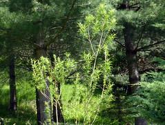 Salix humboldtiana Willd. 1806 (SALICACEAE) (helicongus) Tags: spain salix salicaceae salixhumboldtiana jardnbotnicodeiturraran