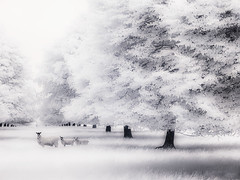 Sheep (philipjoyce) Tags: trees ir sheep infrared 720nm