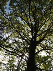 Mighty Oak (gripspix (OFF)) Tags: plant tree nature krone oak natur pflanze baum eiche 20160523 foolingwithmycam kameranarrheiten